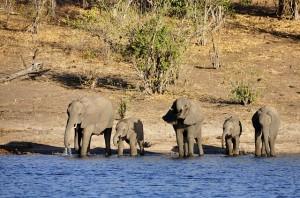 elefanten-botswana